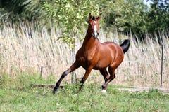 在夏天草甸的良种年轻公马慢跑 图库摄影