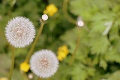 在夏天草甸的蒲公英花 库存图片