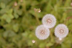 在夏天草甸的蒲公英花 免版税图库摄影
