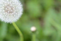 在夏天草甸的蒲公英花 免版税库存照片
