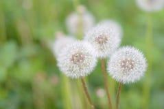 在夏天草甸的蒲公英花 图库摄影