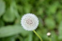 在夏天草甸的蒲公英花 库存照片