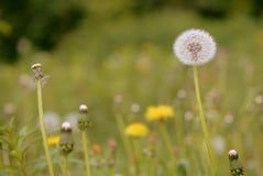 在夏天草甸的蒲公英花 免版税库存图片