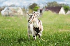 在夏天草甸的逗人喜爱的矮小的灰色山羊 库存照片