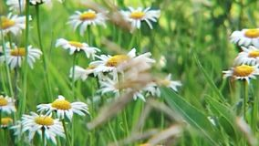 在夏天草甸的领域春黄菊 影视素材