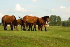 在夏天草甸的马 库存图片