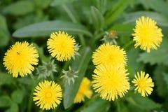 在夏天草甸的黄色蒲公英花 库存图片