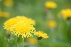 在夏天草甸的黄色蒲公英花 库存照片