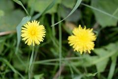 在夏天草甸的黄色蒲公英花 免版税库存照片