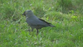 在夏天草的欧洲乌鸦掠夺寒鸦 乌鸦沿寻找食物慢动作录影的草走 双翼飞机 影视素材