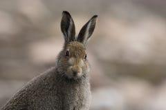 在夏天蓝色外套、石南花和行为的山野兔 库存照片