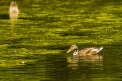 在夏天蚀全身羽毛的公野鸭 图库摄影