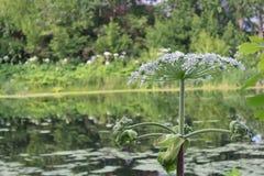 在夏天除草,含毒物植物母牛欧洲防风草开花 免版税库存图片