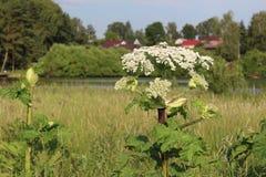 在夏天除草,含毒物植物母牛欧洲防风草开花 免版税图库摄影