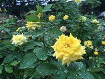 在夏天雨以后的黄色玫瑰 免版税图库摄影