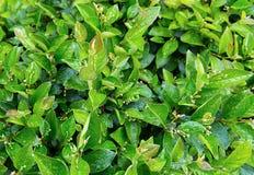 在夏天雨水滴的叶子的豪华的绿色灌木  免版税图库摄影