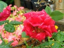 在夏天雨以后的罗斯 免版税库存图片