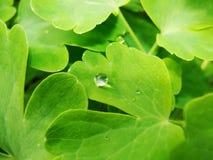 在夏天雨以后 水宏观照片投下在绿色植物词根和叶子的露水  免版税库存图片