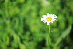 在夏天领域的一朵雏菊 免版税库存照片
