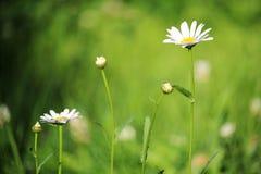 在夏天领域的一朵雏菊 免版税库存图片