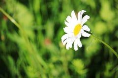 在夏天领域的一朵雏菊 库存图片