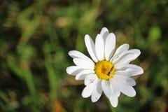 在夏天领域的一朵雏菊 图库摄影