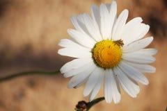 在夏天领域的一朵雏菊 库存照片