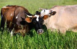 在夏天领域的两头母牛 免版税图库摄影