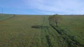 在夏天领域的偏僻的树 在草地早熟禾领域的飞行在低空 4K 股票视频