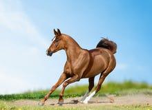 在夏天领域的美丽的驯马 免版税库存图片
