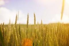 在夏天领域的黄色草在温暖的阳光自然本底中 免版税库存照片