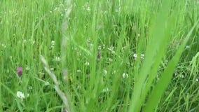 在夏天领域行动主观照相机关闭的英尺长度的绿草 影视素材