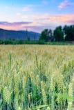 在夏天,在领域的麦子 库存图片