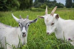 在夏天,在领域,在高草的两只小山羊 库存图片