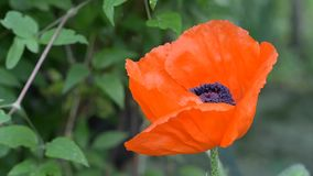 在夏天,庭院开了花大和美丽,装饰橙色鸦片 r 股票录像