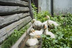 在夏天,漂浮在水中的sixr小幼鹅 免版税库存图片