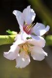 在夏天结束时,这朵花成为了杏仁 库存图片