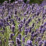 在夏天紫色淡紫色领域的日落 束在法国普罗旺斯的lavanda领域的香花在Valensole附近的 免版税库存照片