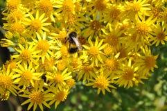 在夏天黄色雏菊的蜂蜜蜂 图库摄影