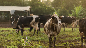 在夏天绿色领域的母牛 库存图片