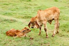 在夏天绿色领域的母牛 免版税图库摄影