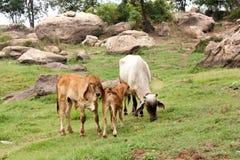 在夏天绿色领域的母牛 免版税库存图片