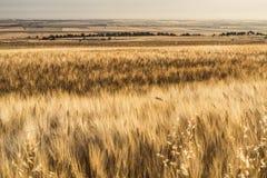 在夏天黄色领域的麦子 库存照片