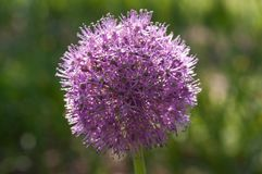 在夏天fieald的紫色花 库存照片