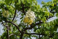在夏威夷的大岛的美丽的黄色和白色热带花 免版税库存照片