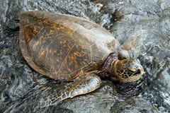 在夏威夷的大绿海龟 图库摄影