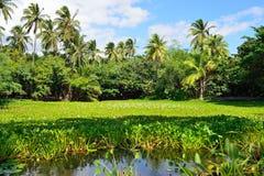在夏威夷的湖大岛的热带百合 免版税库存照片