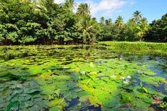 在夏威夷的湖大岛的热带百合 库存照片
