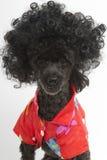 在夏威夷衬衣的卷曲狗 库存照片