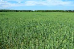 在夏季的田地庄稼 免版税库存图片